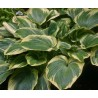 Hosta Earth Angel Funkia