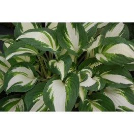 Hosta Enterprise Funkia