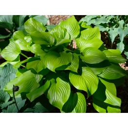 Hosta Fried Bananas Funkia