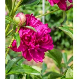 Paeonia lactiflora Paul M. Wild Piwonia chińska