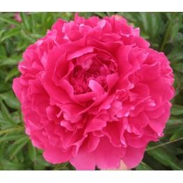 Paeonia lactiflora Pink Supreme Piwonia chińska