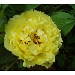 Paeonia ITOH Yellow Crown Piwonia ITOH