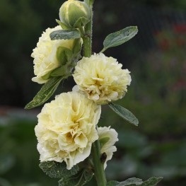Alcea rosea Chater's Double Yellow Malwa