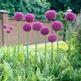 Allium giganteum czosnek olbrzymi