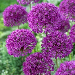 Allium Purple Sensation Czosnek