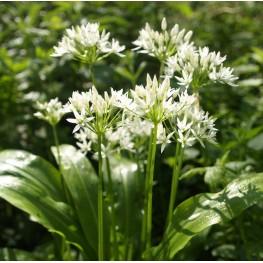 Allium Ursinum Czosnek Niedźwiedzi