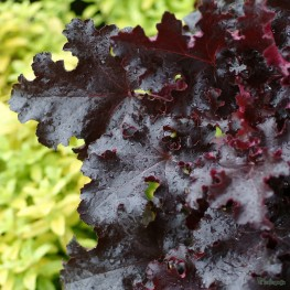 Heuchera Black Beauty Żurawka