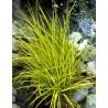 Carex elata Aurea Turzyca
