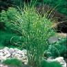 sinensis Zebrinus