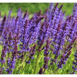 Salvia nemorosa Mainacht Szałwia wspaniała