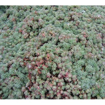 Sedum lydium Glaucum Rozchodnik lydyjski