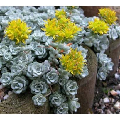 Sedum spathulifolium Cape Bianco Rozchodnik łopatkowaty