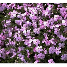 Phlox douglasii Lilac Cloud Floks douglasa