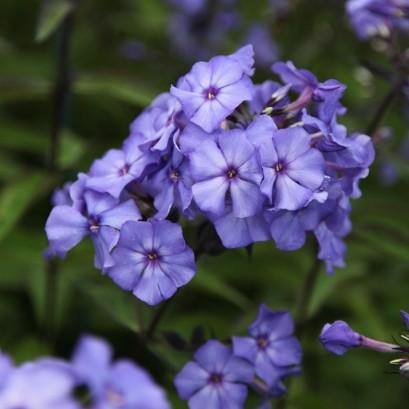 Phlox paniculata Blue Paradaise Floks wiechowaty