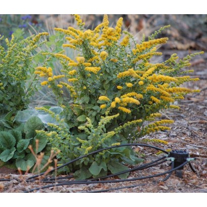 Solidago sphacelata Golden Fleece Nawłoć