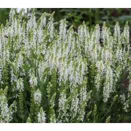 Salvia nemorosa Sensation Medium White Szałwia omszona