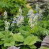 Tiarella cordifolia Tiarella sercolistna