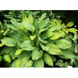 Hosta Gold Regal Funkia