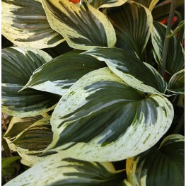 Hosta Independence Funkia