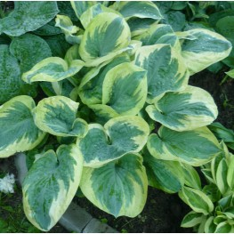 Hosta Knock Out Funkia
