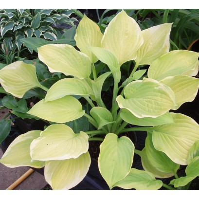 Hosta Lakeside Cha Cha Funkia