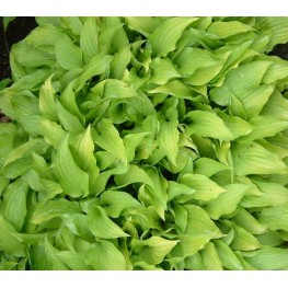 Hosta Lemon Lime Funkia