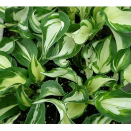 Hosta Patriot Reverset Funkia