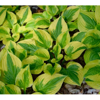 Hosta Summer Breeze Funkia