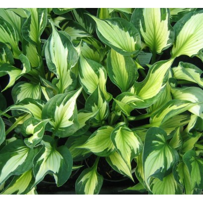 Hosta Wirewind Funkia