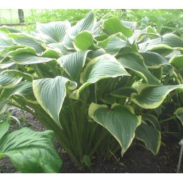 Hosta Yellow River Funkia