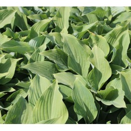 Hosta Nigrescens Krossa Regal Funkia