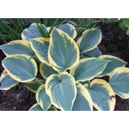 Hosta Valleys Glacier Funkia
