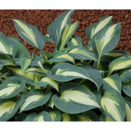 Hosta Timelss Beauty Funkia