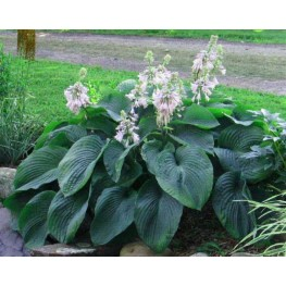 Hosta Devon Giant Funkia