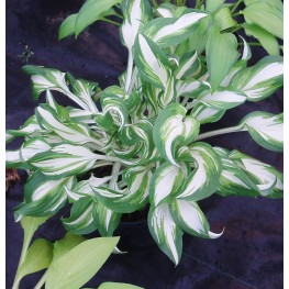 Hosta Kiwi Spearmint Funkia