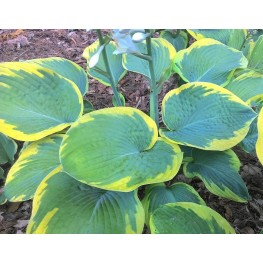 Hosta Maple Leaf
