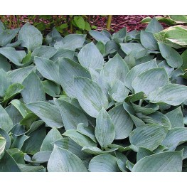 Hosta Moody Blues Funkia