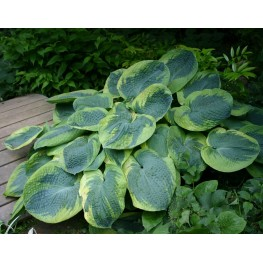 Hosta Olive Bailey Langdon Funkia