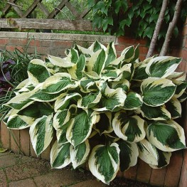Hosta Patriot Funkia