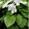 Hosta plantaginea Grandiflora Funkia babkolistna