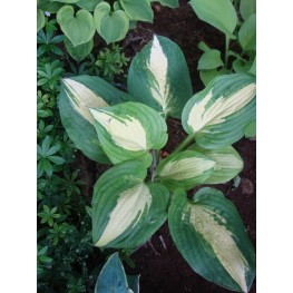 Hosta Lakeside Meter Maid Funkia