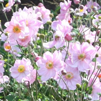 Anemone japonica Konigin Charlotte Zawilec japoński