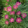 Anemone multiflora Annabella Deep Zawilec wielkokwiatowy