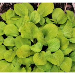 Hosta Sun Mouse Funkia