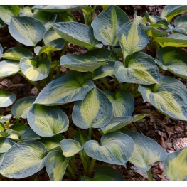 Hosta Heat Wave Funkia