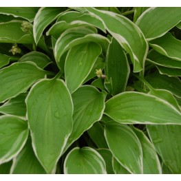 Hosta Iced Lemon Funkia