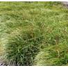 Carex coreophyllea The beatles