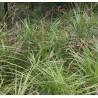 Carex muskingumensis