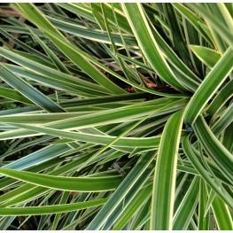 Carex morrowii Goldband Turzyca