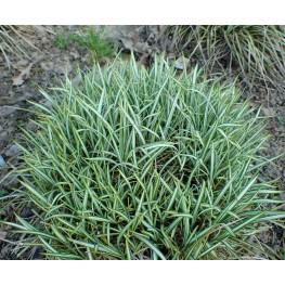 Carex ornithopoda Variegata Turzyca Ptasie Łapki